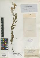 Isotype of Trichogonia laxa Gardner [family ASTERACEAE]