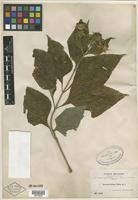 Isotype of Zexmenia foliosa Rusby [family ASTERACEAE]