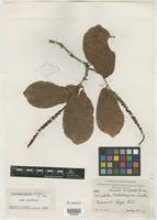 Type of Coccoloba masonii Lundell [family POLYGONACEAE]