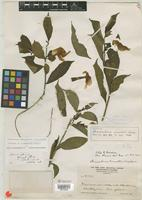 Isotype of Stemmadenia pennellii Woodson [family APOCYNACEAE]