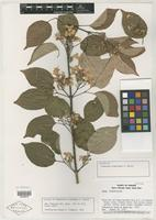 Isotype of Tynanthus croatianus A. H. Gentry [family BIGNONIACEAE]