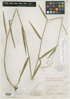 Isotype of Panicularia multifolia Elmer [family POACEAE]