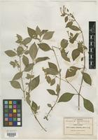 Type of Cuphea imberbis Rose [family LYTHRACEAE]