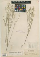 Holotype of Linum australe A. Heller [family LINACEAE]