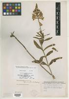 Isotype of Physostegia virginiana var. reducta B. Boivin [family LAMIACEAE]