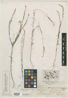 Isotype of Polygala apodanthera S. F. Blake [family POLYGALACEAE]