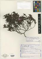 Isotype of Diplusodon oblongus var. angustifolius T. B. Cavalc. [family LYTHRACEAE]