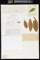 Holotype of Asterina delitescens Ellis & G.Martin [family ASTERINACEAE]