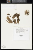 Holotype of Kretzschmaria curvirima J.D.Rogers & Y.M.Ju [family XYLARIACEAE]