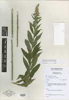 Isotype of Solidago rugosa var. cronquistiana Semple [family ASTERACEAE]