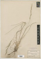 Filed as Muhlenbergia montana (Nutt.) Hitchc. [family POACEAE]