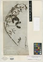 Holotype of Acacia lutea Leavenw. [family MIMOSACEAE]