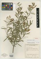 Isotype of Acacia daweana Maslin [family MIMOSACEAE]