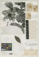 Type of Inga peckii B. L. Rob. [family MIMOSACEAE]