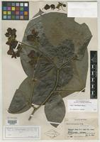 Isotype of Cassia loretensis Killip & J. F. Macbr. [family CAESALPINIACEAE]