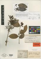 Type of Thibaudia pichinchensis Benth. [family ERICACEAE]