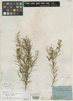 Holotype of Jacksonia dumosa var. glabrata Meisn. [family FABACEAE]