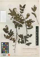 Isotype of Machaerium cobanense Donn. Sm. [family FABACEAE]