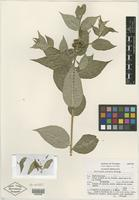 Isotype of Stillingia pietatis McVaugh [family EUPHORBIACEAE]