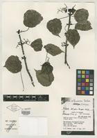 Isotype of Pilea selbyanorum Dodson [family URTICACEAE]