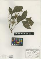 Type of Dysoxylum lamproanthum Merr. & L. M. Perry [family MELIACEAE]