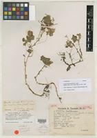 Isotype of Oxalis membranifolia R. Knuth [family OXALIDACEAE]