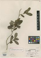 Isotype of Platygyna volubilis R. A. Howard [family EUPHORBIACEAE]