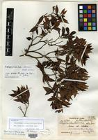 Isotype of Calyptranthes clarensis Britton & P. Wilson [family MYRTACEAE]