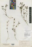 Isolectotype of Mimulus torreyi A. Gray [family SCROPHULARIACEAE]