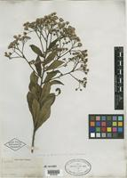 Isotype of Vernonia hieracioides Griseb. [family ASTERACEAE]