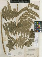Type of Dryopteris porosa Ching [family PTERIDOPHYTE]