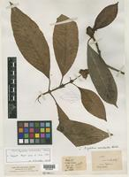 Type of Psychotria morindoides Hutch. [family RUBIACEAE]