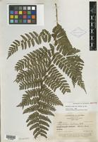 Isotype of Polybotrya stolzei R. C. Moran [family PTERIDOPHYTE]