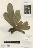 Holotype of Elaphoglossum obtusum Mickel [family PTERIDOPHYTE]