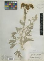 Isotype of Perityle incana A. Gray [family ASTERACEAE]