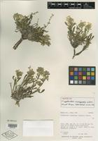 Isotype of Cryptantha creutzfeldtii S. L. Welsh [family BORAGINACEAE]
