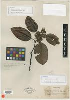 Isotype of Emmotum floribundum R. A. Howard [family ICACINACEAE]