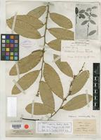 Isotype of Capparis henryi Matsum. [family CAPPARACEAE]