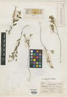 Isotype of Polygala oophylla S. F. Blake [family POLYGALACEAE]