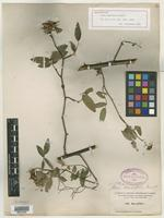 Holotype of Rosa lancifolia Small [family ROSACEAE]