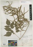 Holotype of Aruncus pubescens Rydb. [family ROSACEAE]