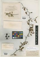 Type of Crataegus crocea Beadle [family ROSACEAE]