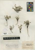 Isotype of Potentilla usticapensis Fernald [family ROSACEAE]