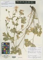 Isotype of Aquilegia desolaticola S. L. Welsh & N. D. Atwood [family RANUNCULACEAE]