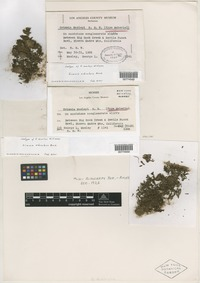 Isotype of Grimmia moxleyi R. S. Williams [family GRIMMIACEAE]