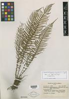 Isotype of Dryopteris aequatorialis Copel. [family PTERIDOPHYTE]