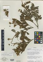 Isotype of Tetraberlinia korupensis Wieringa [family CAESALPINIACEAE]