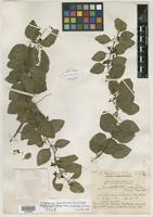 Isotype of Dendropemon harrisii Urb. [family LORANTHACEAE]