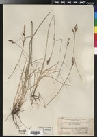 Type of Carex specicola J.T.Howell [family CYPERACEAE]