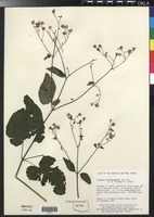 Filed as Polymnia cossatotensis Pittman & V.M.Bates [family ASTERACEAE]